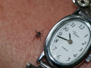 tick on a wrist next to a watch